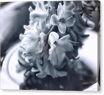 Hyacinth Plated Canvas Print by Susan Capuano