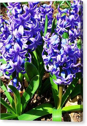 Hyacinths Canvas Print by Anna Villarreal Garbis