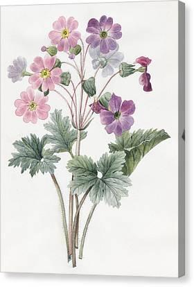 Purple Flowers Canvas Print - Hybrid Auricula by Louise D'Orleans
