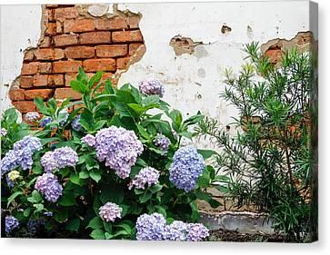Hydrangea And Bricks Canvas Print
