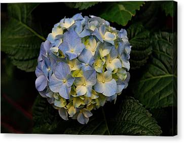 Canvas Print featuring the photograph Hydrangea by Marilynne Bull
