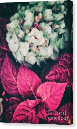 Hydrangea  Canvas Print by Mindy Sommers