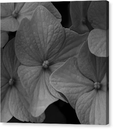 Hydrangea  No 2  2009 Canvas Print