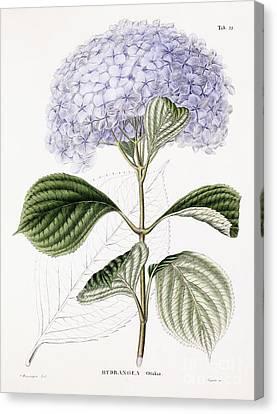 Hydrangea Canvas Print by Sebastian Minsinger
