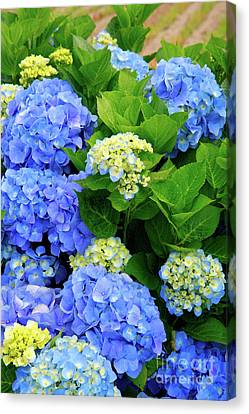 Hydrangeas Canvas Print by Gaspar Avila