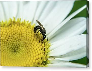 Hymenop On Daisy Feeding On Pollen Canvas Print