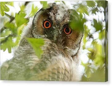 Hypnoteyes - Long-eared Owl Canvas Print