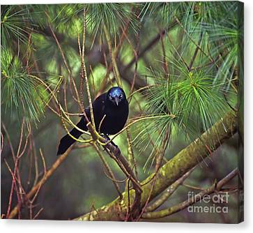 Canvas Print featuring the photograph I Have My Eyes On You - Grackle In The Pines by Kerri Farley
