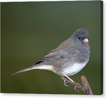 I Junco Canvas Print by Richard Oliver