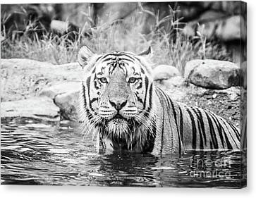 Mike The Tiger Canvas Print - I Want To Play - Bw by Scott Pellegrin