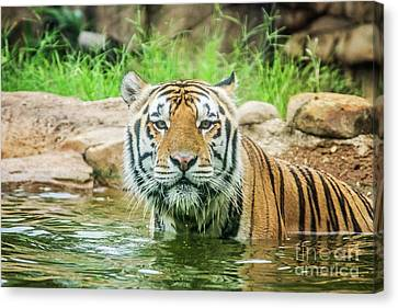 Mike The Tiger Canvas Print - I Want To Play by Scott Pellegrin