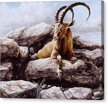 Ibex Canvas Print by Steve Goad