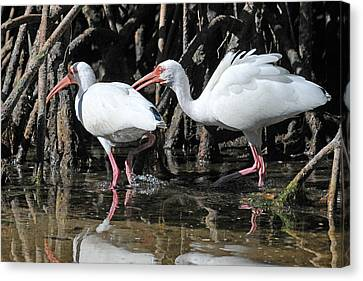 Ibis Canvas Print - Ibis Argument by Alan Lenk