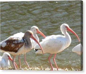 Canvas Print featuring the photograph Ibis Flock With Spotted Juvenile by Jeanne Kay Juhos