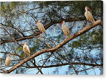 Ibis I May, Ibis I Might... Canvas Print