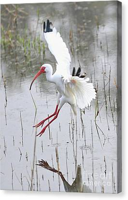 Ibis Canvas Print - Ibis Soft Water Landing by Carol Groenen