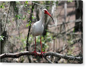 Canvas Print featuring the photograph Ibis  by Teresa Blanton