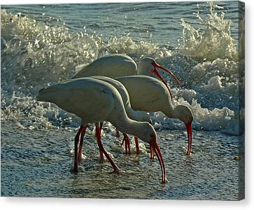 Ibises Canvas Print by Juergen Roth