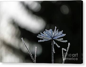 Ice Flower Canvas Print by Veikko Suikkanen