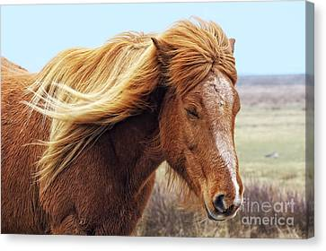 Iceland Horse In The Wind Canvas Print