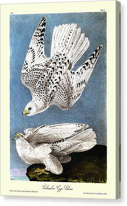 Iceland Or Gyr Falcon Audubon Birds Of America 1st Edition 1840 Royal Octavo Plate 19 Canvas Print