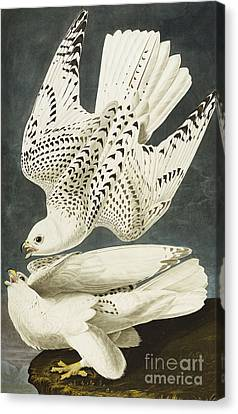Raptor Canvas Print - Iceland Or Jer Falcon by John James Audubon