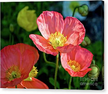 Iceland Poppies Visit Www.angeliniphoto.com For More Canvas Print