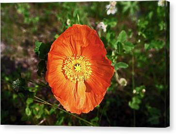 Iceland Poppy Canvas Print by Sally Weigand