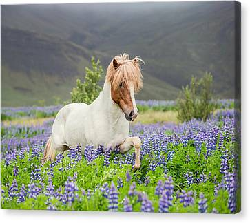 Icelandic Horse Running In Lupine Canvas Print