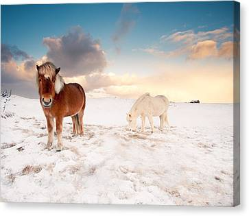 Icelandic Horses On Winter Day Canvas Print