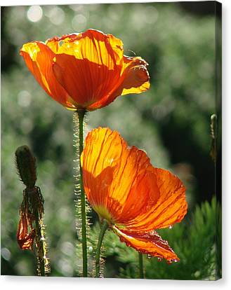 Icelandic Poppies Canvas Print