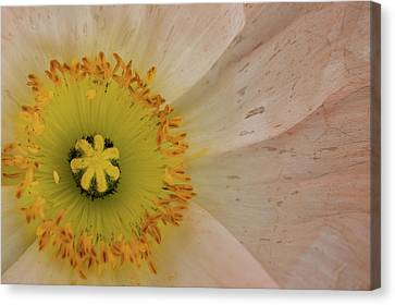 Canvas Print featuring the photograph Icelandic Poppy by Roger Mullenhour