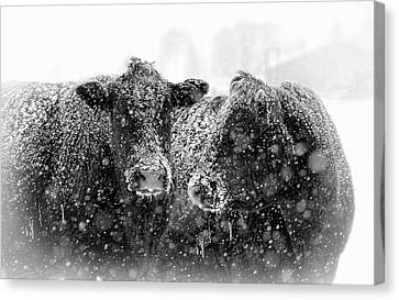 Icicles On My Nose Black Angus Cows Canvas Print