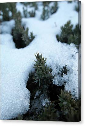 Icy Evergreen Canvas Print by Laurel Powell
