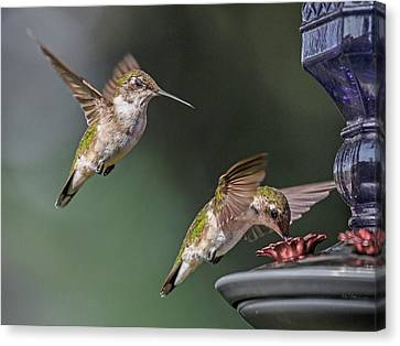 Feeding Canvas Print - If Looks Could Kill by Betsy Knapp