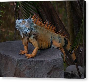 Canvas Print featuring the photograph Iguana 2 by Jim Walls PhotoArtist