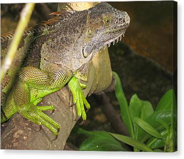 Iguana - A Special Garden Guest Canvas Print by Christiane Schulze Art And Photography