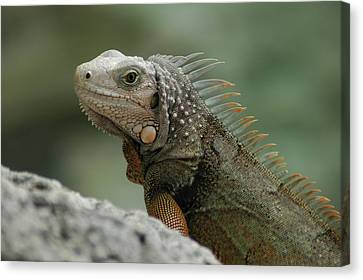 Canvas Print featuring the photograph Iguana Bay by Lori Mellen-Pagliaro