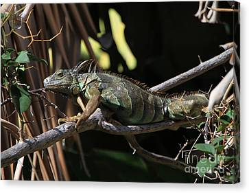 Canvas Print featuring the photograph Iguana by Edward R Wisell