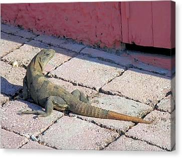 Iguana On The Street Canvas Print