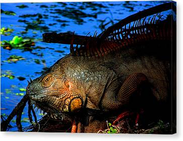 Iguana Sunrise Canvas Print