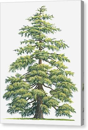 Illustration Of Evergreen Cedrus Deodara (deodar Cedar, Himalayan Cedar Tree Canvas Print by Sue Oldfield