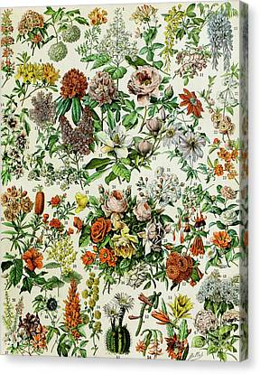 Fresh Canvas Print - Illustration Of Flowering Plants by Adolphe Philippe Millot