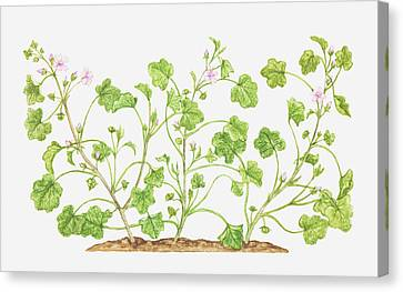 Y120907 Canvas Print - Illustration Of Malva Neglecta (dwarf Mallow), Wildflowers by Tricia Newell