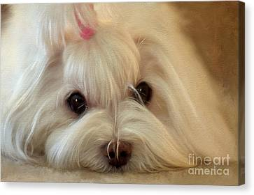 White Maltese Canvas Print - I'm Listening by Lois Bryan