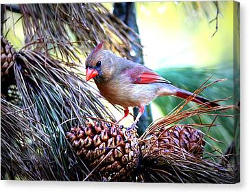 Img_0311 - Northern Cardinal Canvas Print