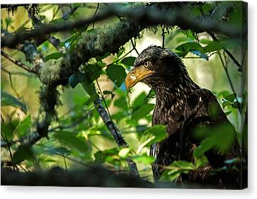 Juvenile Bald Eagle Canvas Print
