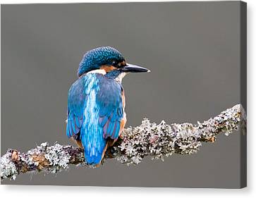 Canvas Print featuring the photograph Immature Common Kingfisher by Phil Stone