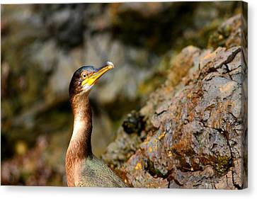 Canvas Print featuring the photograph Immature Shag by Richard Patmore