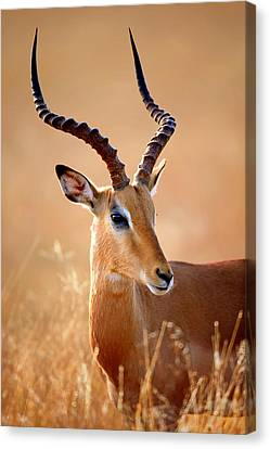 Head And Shoulders Canvas Print - Impala Male Portrait by Johan Swanepoel